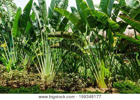 Ravenala palm called also travelers tree the symbol of Madagascar. Beautiful branches of palm in the garden. Ravenala madagascariensis poster