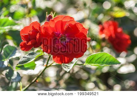 rose schloss mannheim, several flowers in full bloom, red-orange hues, summer, the plant in the garden is lit by the sun, nature, natural, against the background of green foliage,