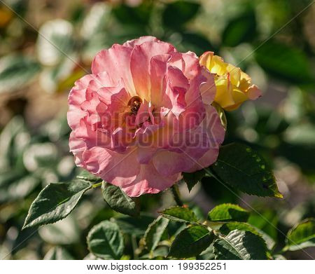 rose flower grade aquarell, large flowers of iridescent pink and peach-yellow hues, growing in the garden in the summer, illuminated by sunlight,  in the background the green foliage of the plant