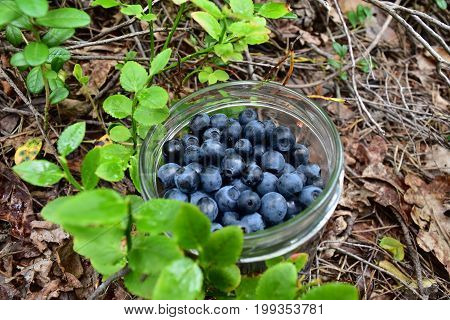 Blueberries in a glas in the autumn forest floor . Next to blueberry bushes.