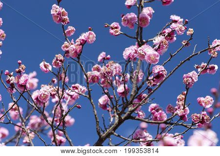 Pink Flowers of Cherry Plum tree japan flower Beauty concept Japanese Spa concept