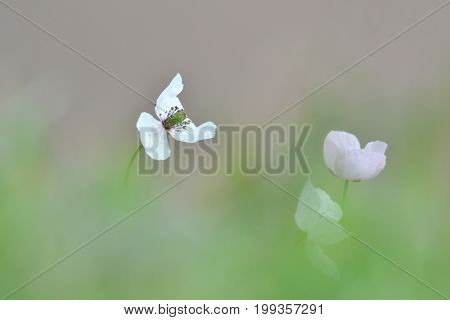 white blooming opium poppy in Latin papaver somniferum on field in summer