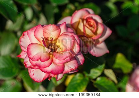rose flower grade leo ferre, two flowering plants pink-white, with a yellow center and red edges, summer, sunlight,  in the background green leaves of a plant, close-up