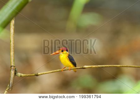 Bird colorful beautiful black-backed Kingfisher (Ceyx erithacus) in forest
