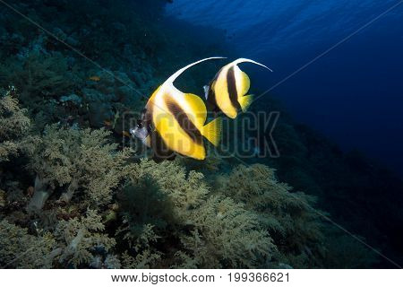 pennant bannerfish in the rea sea in egypt