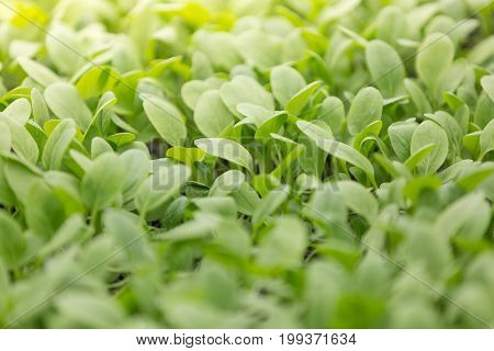 Green Leaves In A Field Plantation