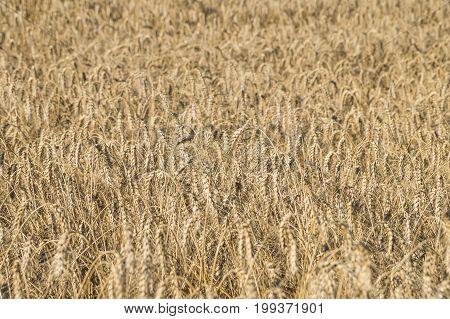 Ripe wheat locusta in the fields. Bread-corn or rye pikelets field under the summer sun
