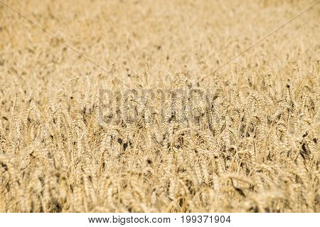 Large field of ripe bread corn. Millions of rye or wheat spikelets growing in agricultural area