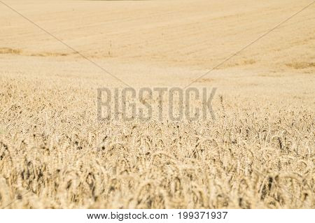 Endless agriculture field of ripe rye or wheat. Huge farming land with bread corn
