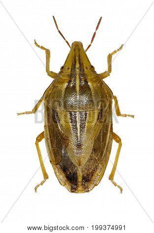Wheat Stink Bug on white Background - Aelia rostrata (Boheman 1852)
