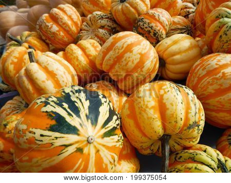 Beautiful autumn pumpkin background for Halloween or Thanksgiving seasonal background fresh healthy gourds in pumpkin patch with green, white and orange colors