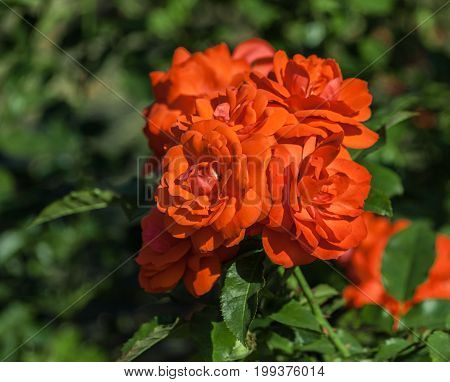 rose flower grade spath s jubilaum, orange-salmon blossoms in inflorescences, bright red scarlet, leaves dark green, on the background of foliage plants, sunlight, summer day, close-up, salmon-colored