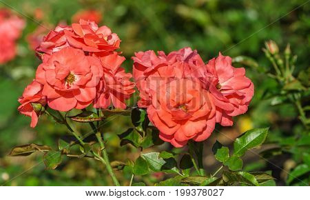 rose flower grade rosi mittermaier, group bright orange-pink-red flower in full bloom against the background of the foliage of the plant, illuminated by sunlight, summer day,