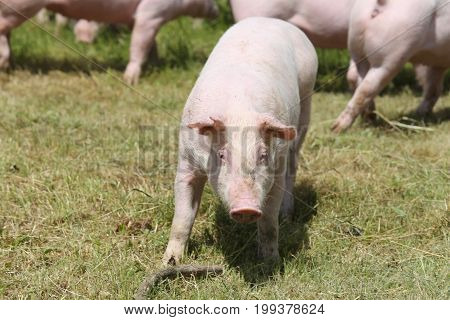 Little pink growing piglets grazing on rural pig farm