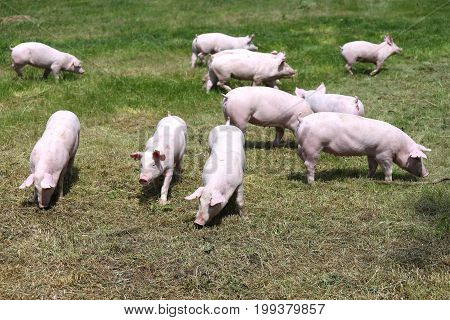 Pigs farming raising breeding in animal farm rural scene