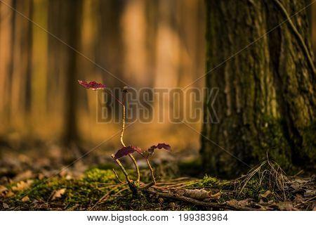 young oak under large oaks in Germany