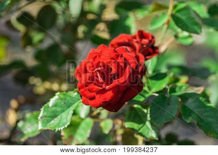 rose flower grade lavaglut, two dark red terry flowers grow in the garden, sunlight, summer, dark green leaves, in the background foliage, in bloom,