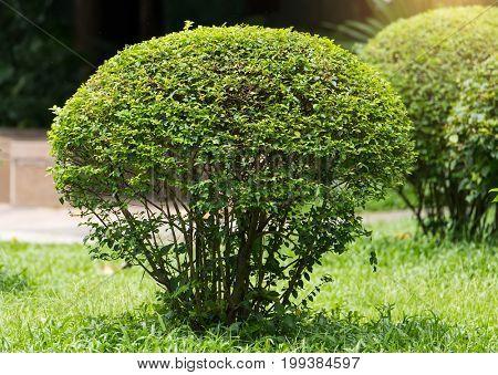 green coniferous shrubs shorn by round shape