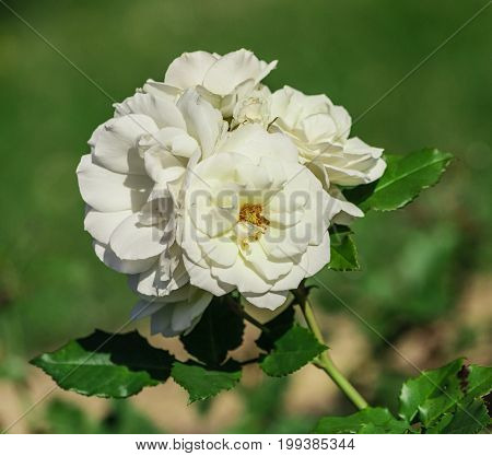 rose flower grade edelweiss, bunch of snow-white, with a yellow dot in the center, foliage of medium size, dark and shiny, fully opened in bloom, sunlight, summer day,  five, one bud,