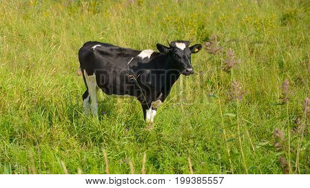 Cow grazing in lush grass meadows. Factory farming in the village. Summer rural views of the cow in the paddock. Animal farm provides a natural diet of people.
