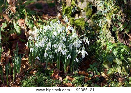 Snowdrops in bloom in the spring with daffodils budding