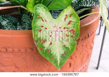 Caladium leaf green with pink veins plant