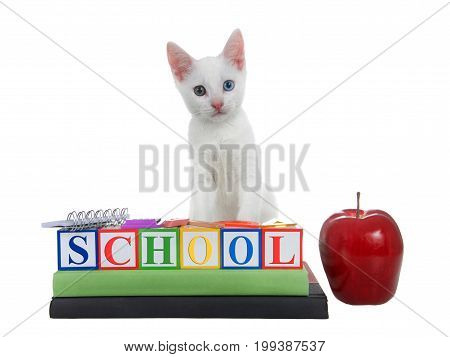 Cute white kitten with heterochromia eyes standing on colored building blocks spelling SCHOOL stacked on text books with spiral bound notebook rule compass calculator and an apple.
