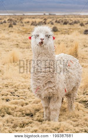 Emotional llama on Altiplano Bolivia South America