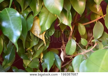 green leaves on a Ficus tree in the desert, Arizona