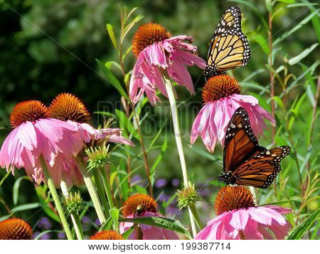 Monarch butterflies and flowers in garden on bank of the Lake Ontario in Toronto Canada August 8 2017