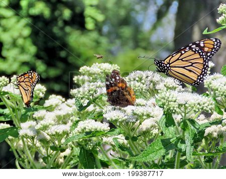 Monarch butterflies and Red Admiral in garden on bank of the Lake Ontario in Toronto Canada August 8 2017