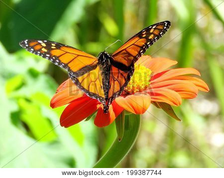 Monarch butterfly in garden on bank of the Lake Ontario in Toronto Canada August 8 2017