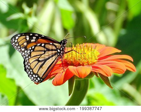 Monarch butterfly on a red flower in garden on bank of the Lake Ontario in Toronto Canada August 8 2017