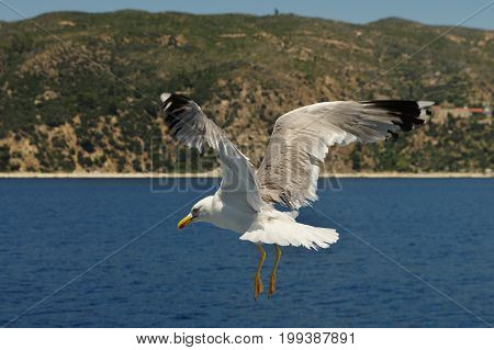 White seagull flying over the blue sea. In the background you can see the seacost.