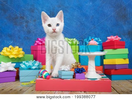Small white kitten with heterochromia eyes sitting next to a miniature birthday cupcake on pedestal surrounded by colorful birthday presents looking at viewer. Blue and black textured background.