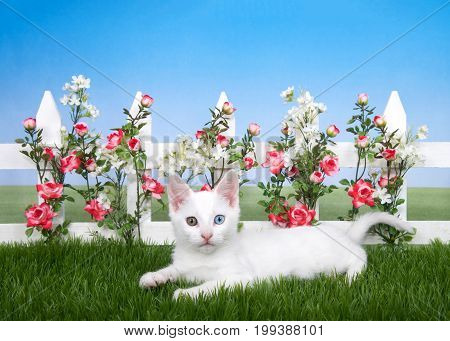Fluffy white kitten with heterochromia odd eyes laying on green grass in front of a white picket fence with bright pink and white flowers blue sky background. Looking directly at viewer. Spring fun.