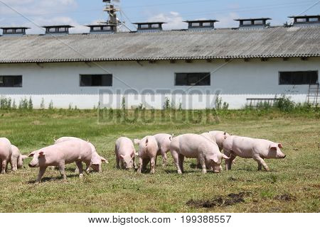 Group of small pigs eating fresh green grass on the meadow against the pigpen