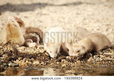 Ferret on beach enjoying relaxation in summer day