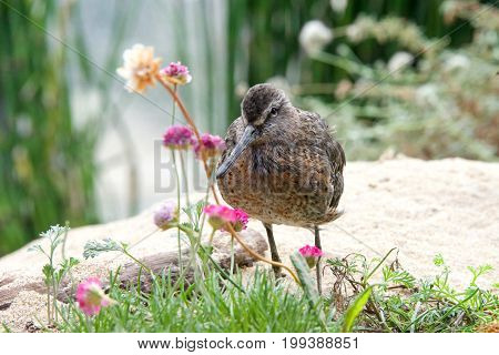 One Dowitcher bird standing on a sandy hill with flowers and shrubbery around it.