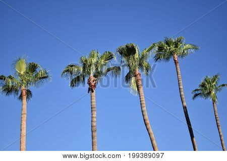 many palm trees against a blue sky in phoenix