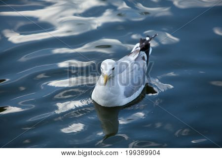 White Gull Floating In The Lake