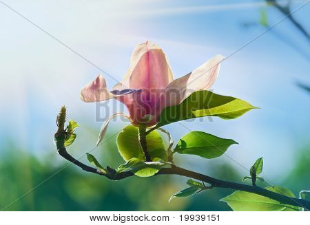 Pink Abloom Magnolia Flower In Sunny Spring Day