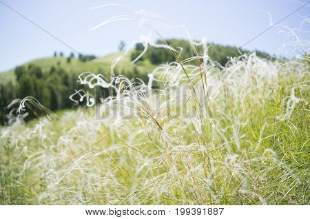 A natural background with beautiful feather grasses.