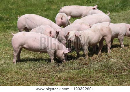 Little pink growing piglets grazing on rural pig farm