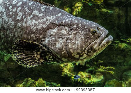 Giant grouper fish face.Underwater marine wildlife. Epinephelus itajara.