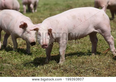 Group photo of young piglets runs on green grass near the farm