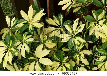 Close up of a variegated green and yellow dwarf umbrella plant also known as schefflera in outside garden against wooden stockade fence the leaves are wet from rain.