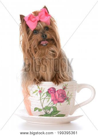 adorable yorkshire terrier puppy inside a teacup on white background