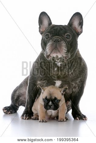 mother and daughter french bulldogs sitting on white background