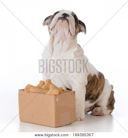 bulldog puppy with a cardboard box full of bones